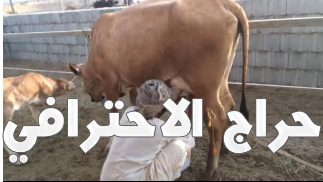 بقره مهجن الماني وعربي